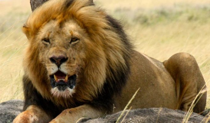 Porini Lion Camp, Olare Orok Conservancy